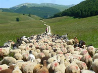 Hidden Italy weekend:  walking with sheep in Abruzzo.