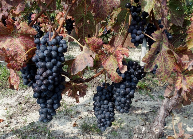 walking in piedmont - barolo grapes ready to be picked