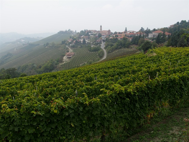 walking in piedmont - barbaresco vineyards near treiso
